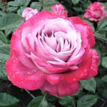Hybrid Tea rose BLUE RIVER