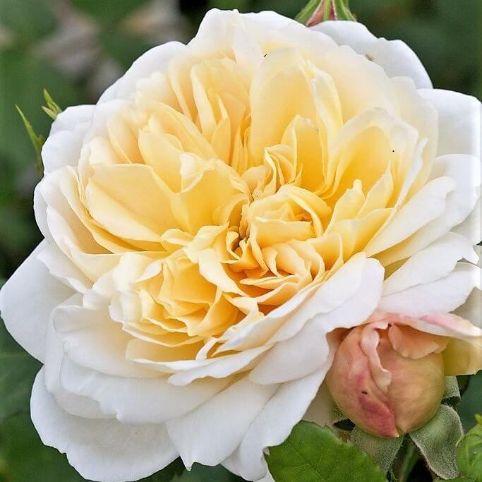 Floribunda rose CROCUS
