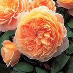 Floribunda rose CROWN PRINCESS MARGARETA