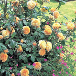 CROWN PRINCESS MARGARETA - trandafir floribunda