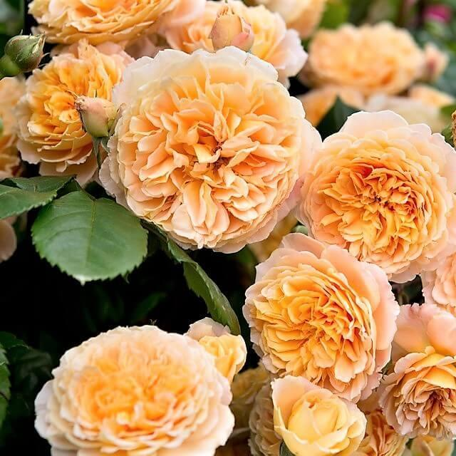 CROWN PRINCESS MARGARETA