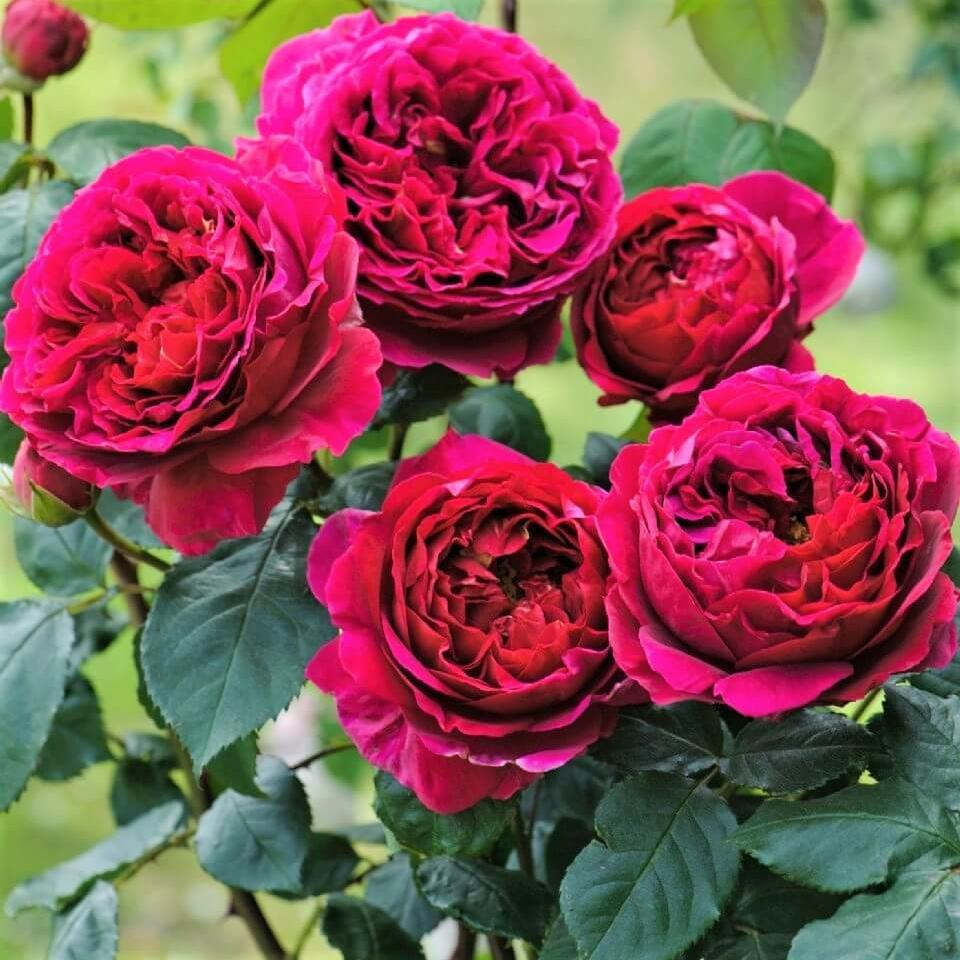 Floribunda rose FALSTAFF