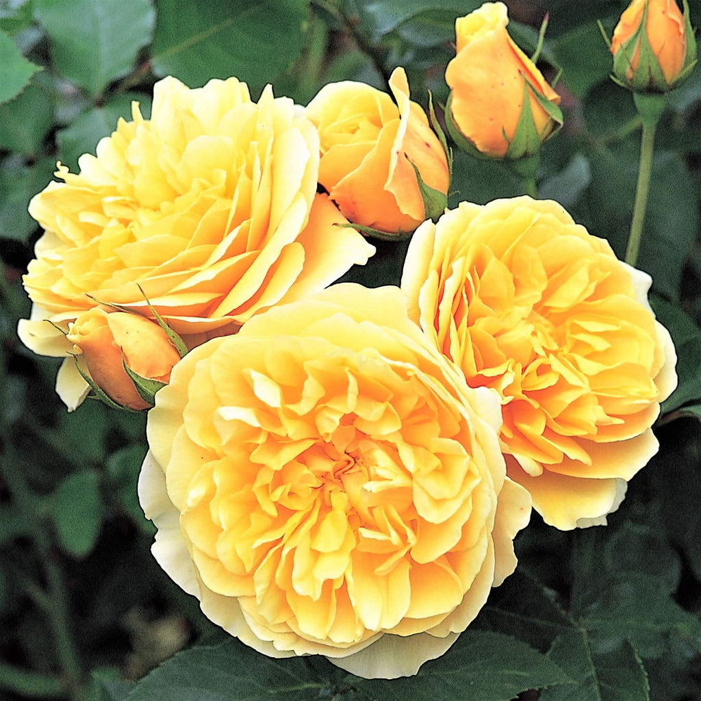 Floribunda rose GRAHAM THOMAS