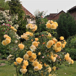 Climbing rose GRAHAM THOMAS