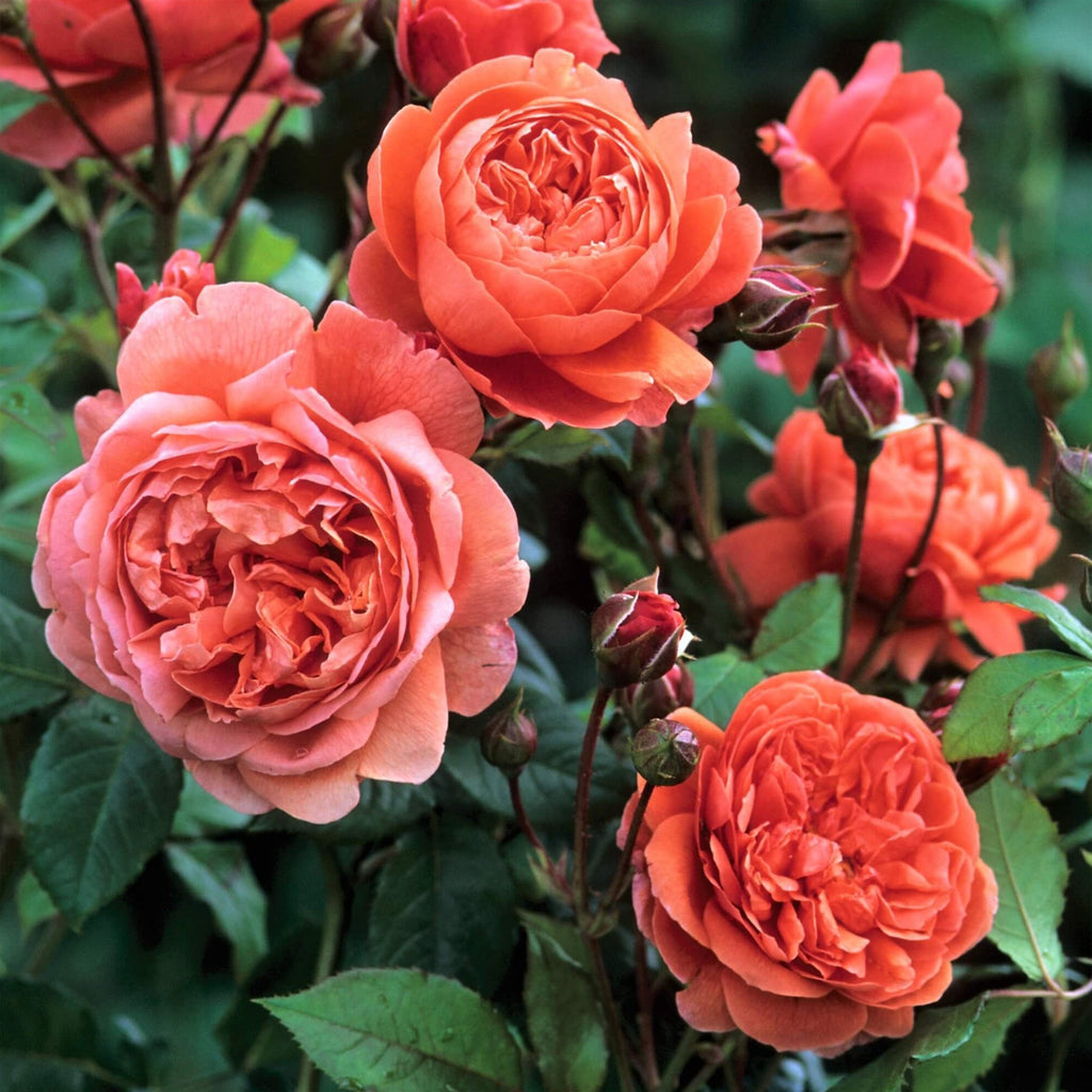 Floribunda rose SUMMER SONG