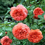 SUMMER SONG - trandafir floribunda
