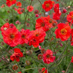 Geum coccineum : FLAMES OF PASSION
