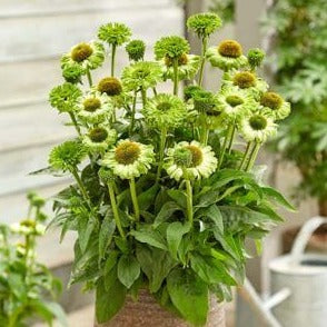 Echinacea hybrida : SUNSEEKERS APPLE GREEN