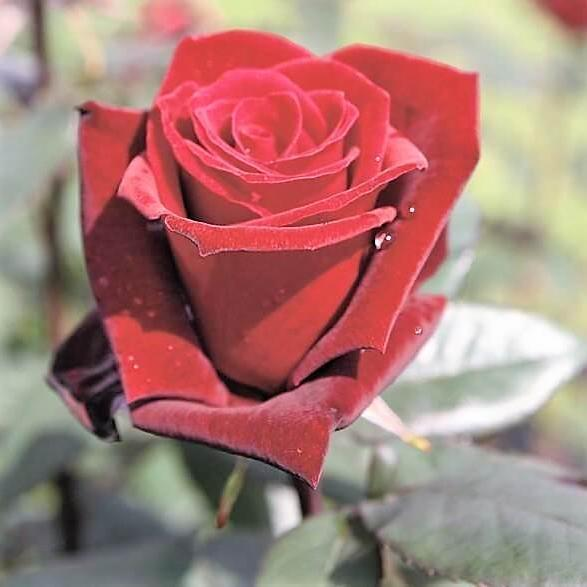 Hybrid Tea rose BARKAROLE