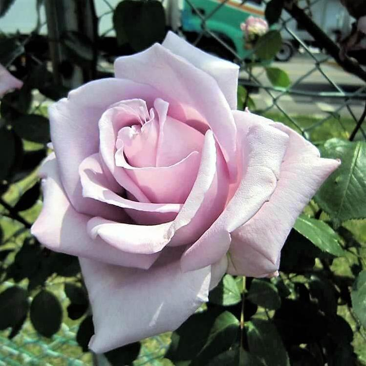 Hybrid Tea rose BLUE MOON
