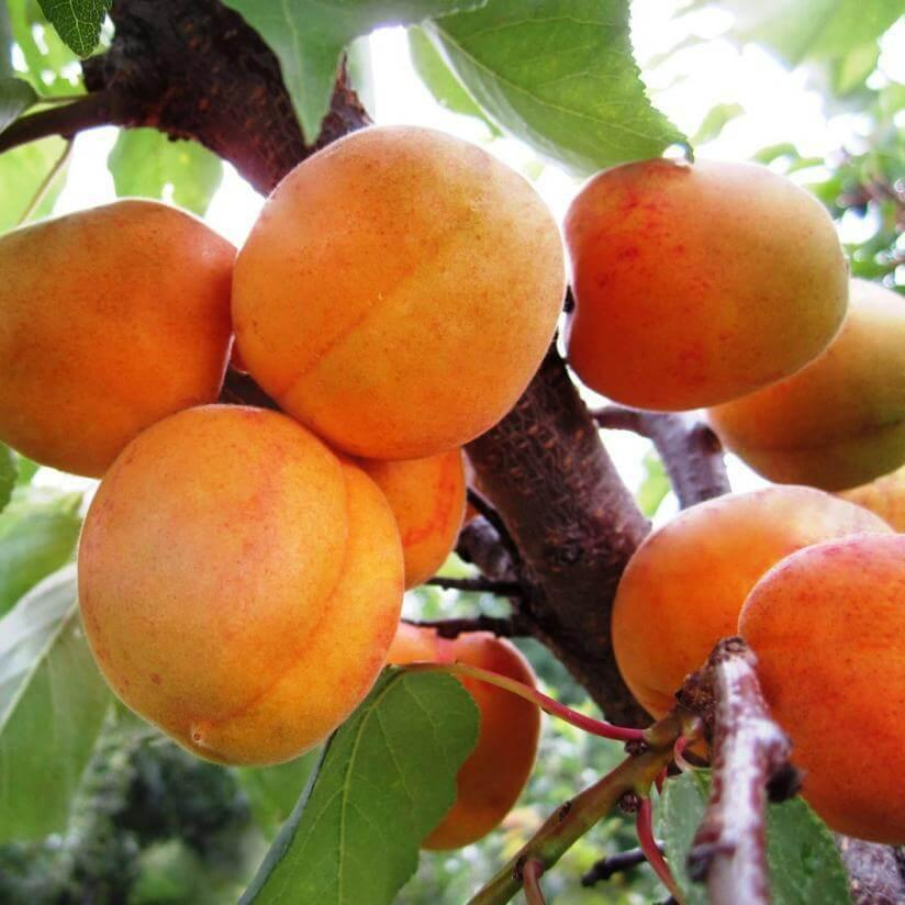 Apricot NJA / Tree from year 2 / Formed crown