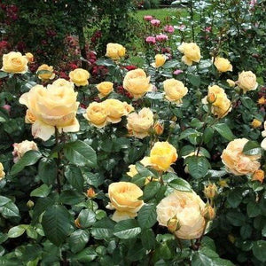 Hybrid Tea rose CANDLELIGHT