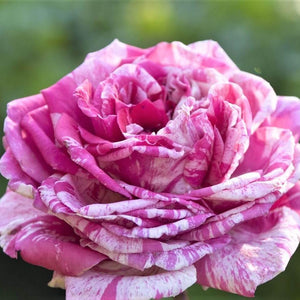 Hybrid Tea rose CRAZY FASHION