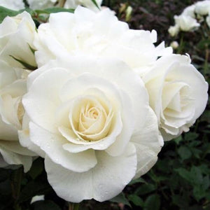 Hybrid Tea rose ELVIS
