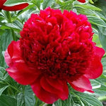 Paeonia : RED CHARM