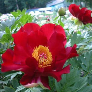Paeonia itoh : SCARLET HEAVEN