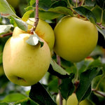 Dwarf Apple GOLDEN DELICIOS (SMOOTHEE)