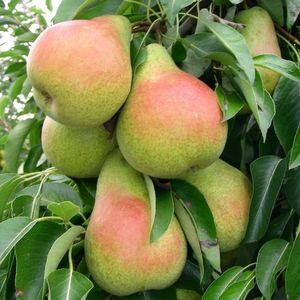 Pear HARROW SWEET