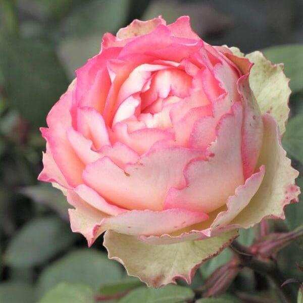 Hybrid Tea rose JALITAH