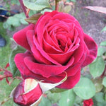Hybrid Tea rose MISTER LINCOLN