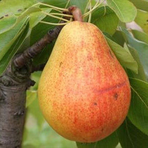 Pear FAVORITA LUI CLAPP