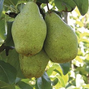 Pear NOVEMBRA - Without Crown