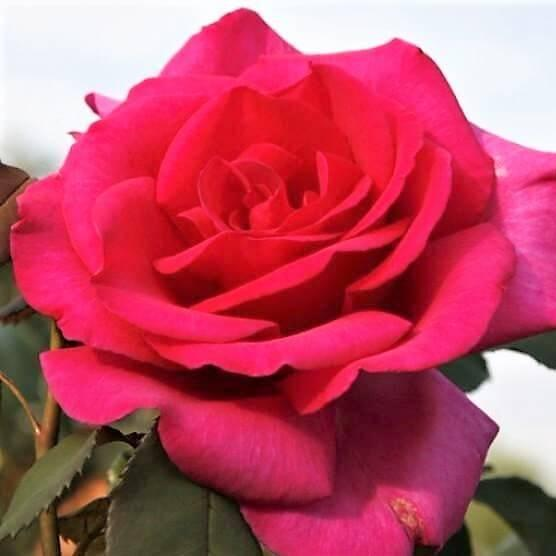 Hybrid Tea rose PAROLE