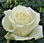 Hybrid Tea rose PINGUIN