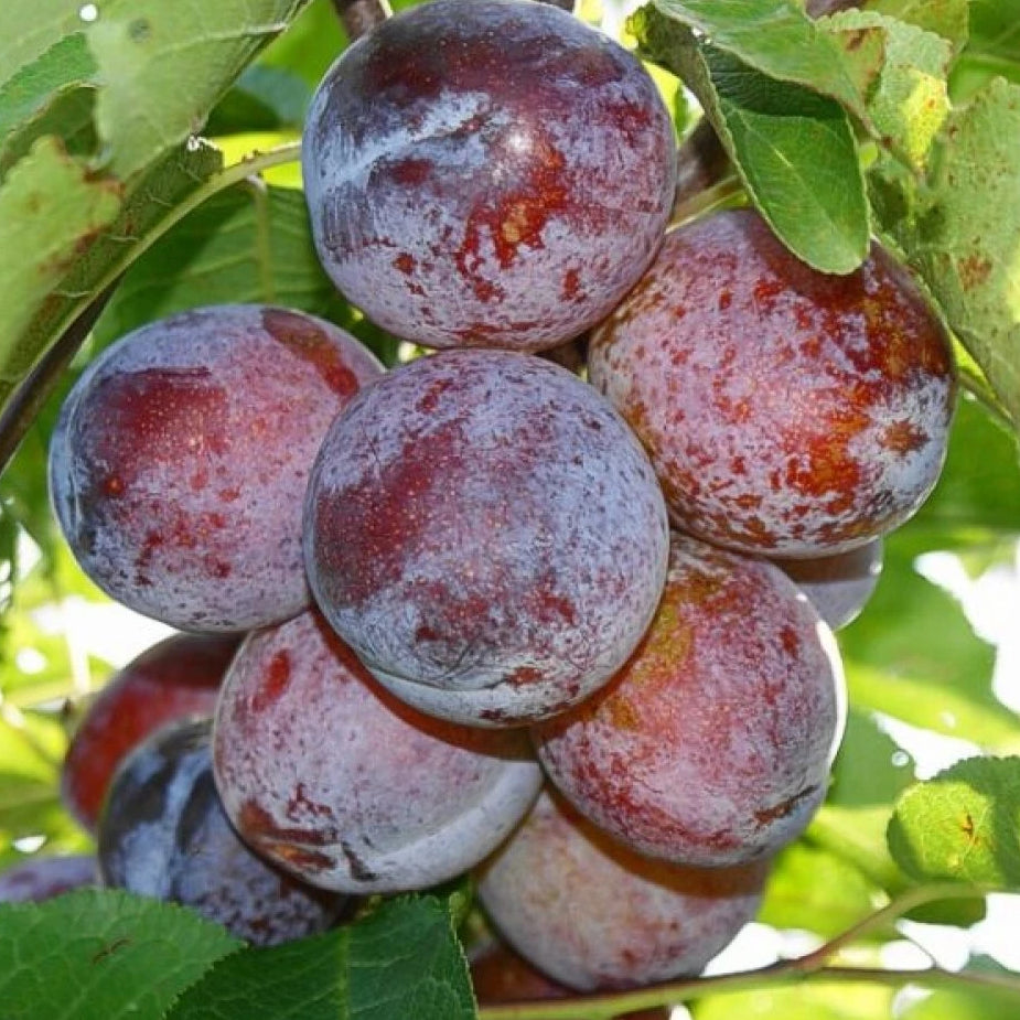 Plum ANNA SPATH