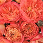 Floribunda rose QUEEN OF HEARTS