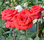 Hybrid Tea rose RED BERLIN