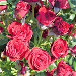 Floribunda rose SCARLET HIT