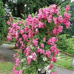 Climbing rose SUPER DOROTHY