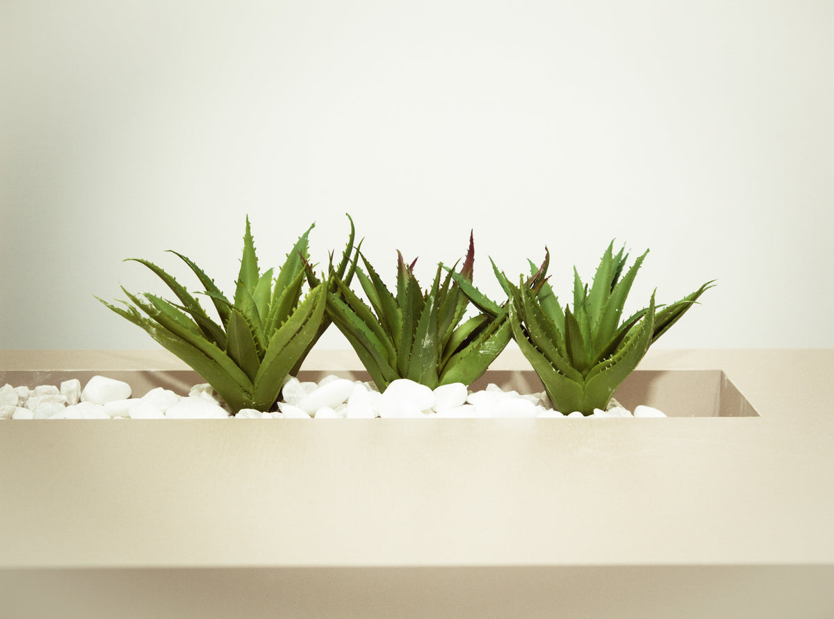 Aloe Vera - The Skin Healer, Skin Regenerator, Immune Booster & a Superfood