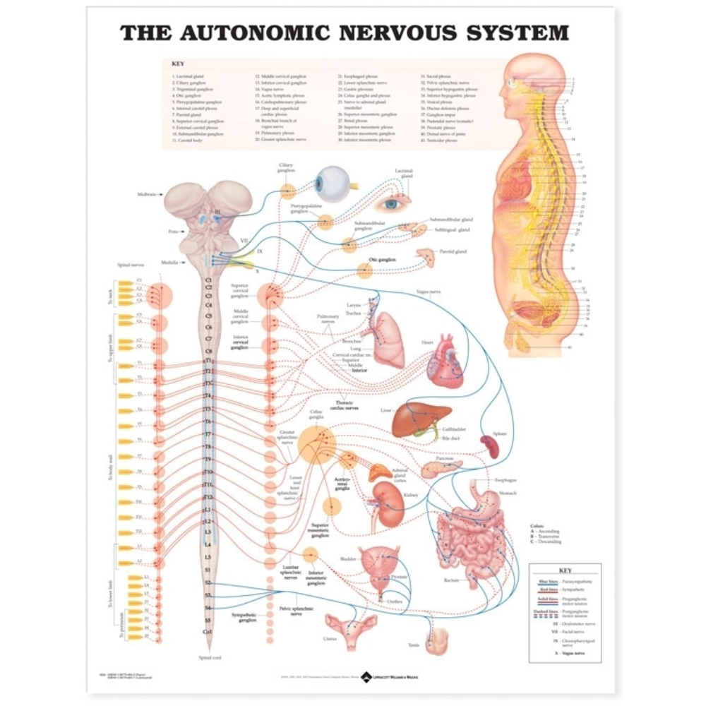 The Autonomic Nervous System Anatomical Chart