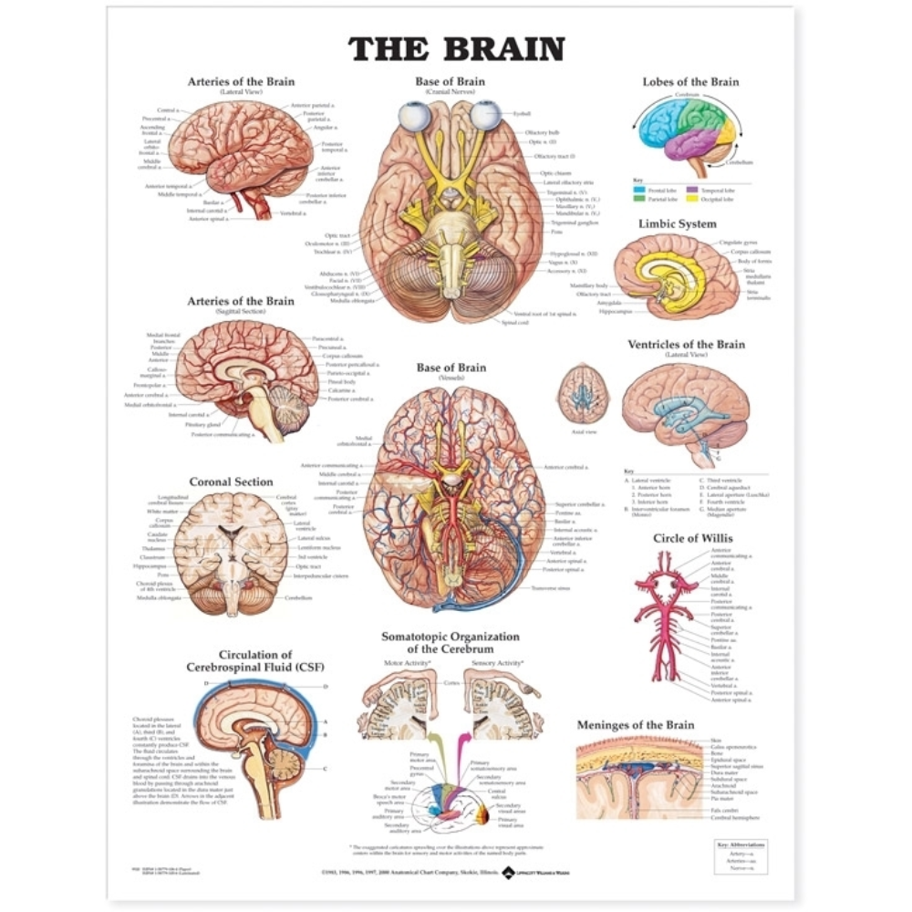 Brain Anatomical Chart