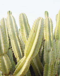 Green Cactus Fine Art Photograph