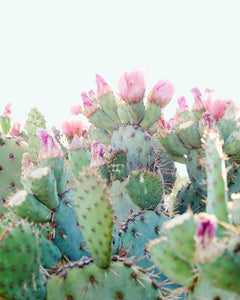 Flowering Cactus Fine Art Photograph