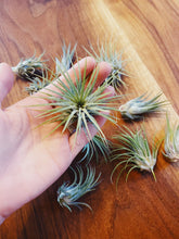 Load image into Gallery viewer, Small/Medium Air Plant - Likewoah Handmade