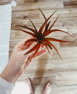 Red Abdita Air Plant