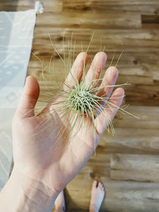 Argentea Thin Air Plant
