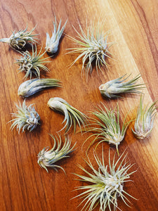 Small/Medium Air Plant - Likewoah Handmade