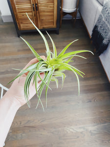 Veluntina Air Plant- Large - Likewoah Handmade