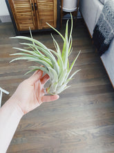 Load image into Gallery viewer, Veluntina Air Plant- Large - Likewoah Handmade