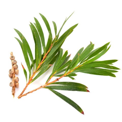 Tea Tree, USDA Organic