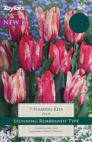 Tulip 'Flaming Kiss' pack of 7