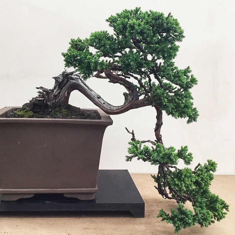 Megumi's Private Collection - Procumbans Juniper Cascade