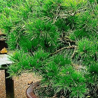 Bonsai Workshop - Black & Red Pine