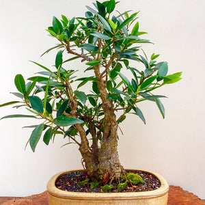 Bonsai Course - Beginners Stage 1 - 2020