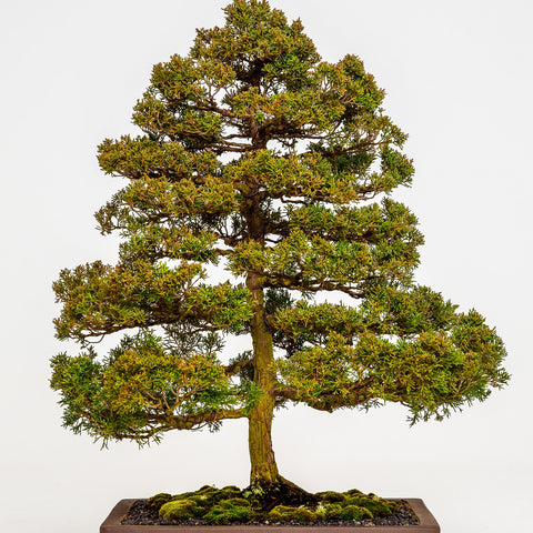 Bonsai Workshop - Intermediate & Advanced - 2020